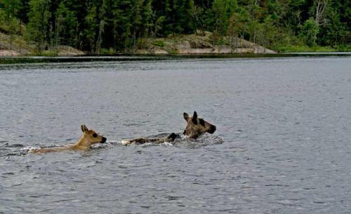 caribou-calf-pic-17314DC0D-64B1-100D-6B4A-28F5885B8869